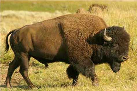 Búfalo norteamericano